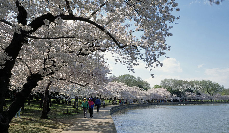 Cherry Blossoms around the Tidal Basin in Washington, D.C. (Courtesy Carol M. Highsmith Archive, Library of Congress)